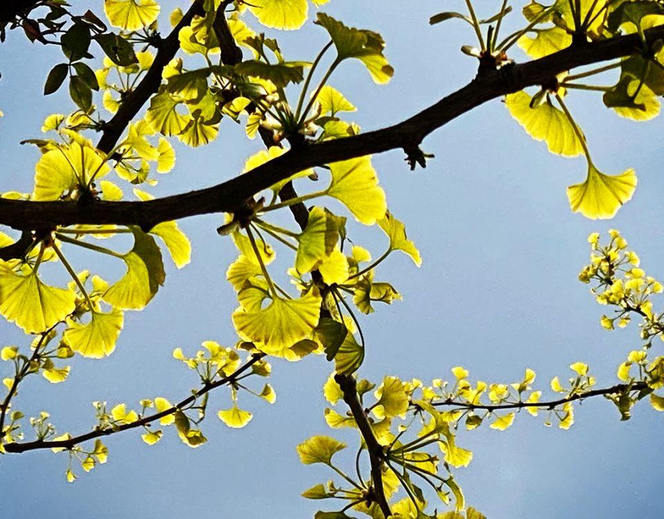 springtime ginkgo leaves